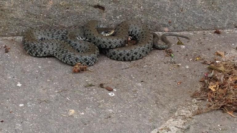 Schlangenbergung