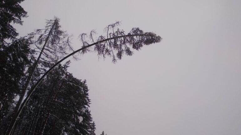THL Baum/Ast